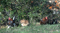 Chickens rest next to a bush Stock Footage