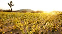 Desert Golden Flower Carpet Time Lapse Stock Footage