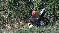 Coloured chicken sits in the grass Stock Footage