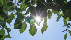 Sun through Green Walnut Tree Leaves, Natural Energy HD Stock Footage