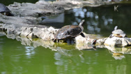 Stock Video Footage of turtle in pond