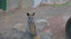 A wallaby from an adelaide park - stock footage