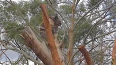 Great shot of some koala's waking up looking around high on the tree Stock Footage