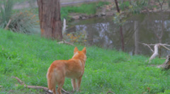 A cleland national park dingo stares at the birds by the lake Stock Footage