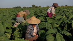 Women working in a Tobacco Field Stock Footage