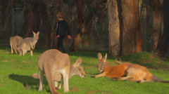 A group of kangeroos enjoy some getting some sunVictoria Peak Stock Footage