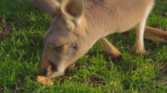 A close shot of two white kangeroos sniffing the ground Stock Footage