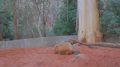 1 min clip wombat drinks from the bowl and is distracted by a bird and runs away Stock Footage