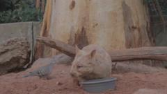 A golden wombat proudly drinks from his bowl before before walking away Stock Footage