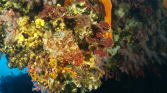Underwater footage fish chapon coral starfish corsica corse mediterranean Stock Footage