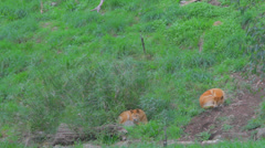 A shot slowly zooms out for a wide shot of 3 cleland park dingos resting Stock Footage
