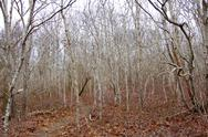 Stock Photo of birch thicket