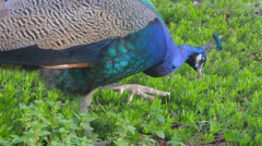 A vibrant colorful peacock looks for food in the grass Stock Footage
