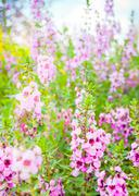 meadow pink  flowers in northern of thailand - stock photo