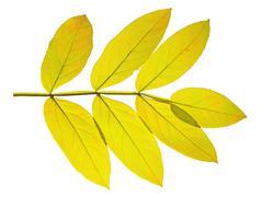 autumn  leaf ash on white background - stock photo