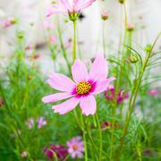 beautiful cosmos flowers - stock photo