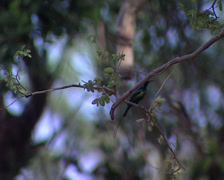 American humming-bird with a curved beak - stock footage