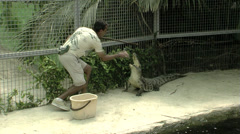Keeper feeding an injured crocodile Stock Footage