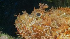 Underwater footage fish chapon diver corsica corse mediterranean Stock Footage