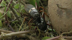 Crickets copulating Stock Footage