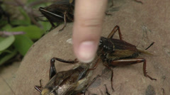 Stock Video Footage of Crickets