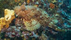 Underwater footage fish chapon corsica corse mediterranean Stock Footage