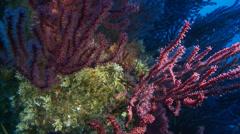 Underwater footage gorgone chapon fish corsica corse mediterranean Stock Footage