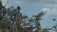 Stock Video Footage of Marabou on the tree