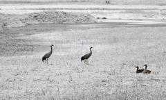common crane birds on field with frozen grass, just migrated to scandinavia i - stock photo