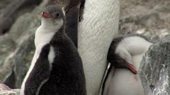 Gentoo Penguin chicks Stock Footage