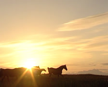 Pure Spanish Horse walking in the wildlife during a sunset Stock Footage