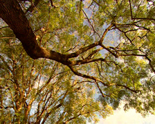 Low angled shot of tree canopies panning to Royal Hotel Stock Footage