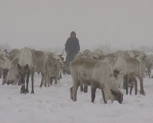 Nenet go hunting reindeers with lasso - stock footage