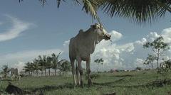 Zebu. Asian cow Stock Footage