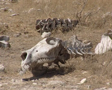 Zebra skeleton in the Etosha National Park Stock Footage