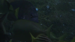 Angry fish. underwater Stock Footage