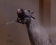 Cleaning Pure Spanish Horse with a hose Stock Footage