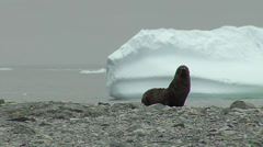 Sea lion in the coast with an ice floe at the background Stock Footage