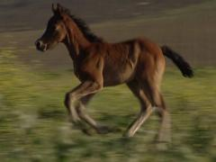 Andalusian horse foal, colt on meadow Stock Footage