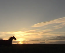 Stock Video Footage of Pure Spanish Horse walking in the wildlife during a sunset
