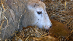 Sheep giving birth part 6 Stock Footage