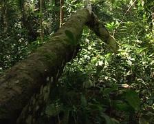 Pygmies walking through the jungle Stock Footage