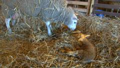 Sheep giving birth part 7 Stock Footage