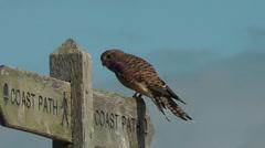 Kestrel on coast path sign Stock Footage