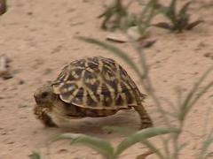 Ornate Box Turtle. Terrapene ornata ornate Stock Footage