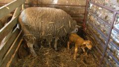 Sheep giving birth part 8 Stock Footage