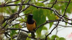 Asia Singapore Brown-throated Sunbird Anthreptes Malacensis Bird Stock Footage