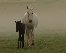 Herd of PRE Horses running in a field Stock Footage