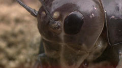 Crickets moulting the exoskeleton Stock Footage