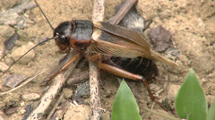 Cricket egg laying Stock Footage